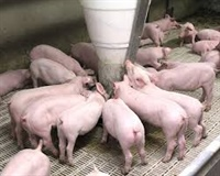Relationship between feed, genetics, health, and growth performance up to market weight in pigs