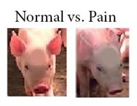 Evaluation of analgesia efficacy in piglets undergoing castration and processing through the scoring of pain related behaviours
